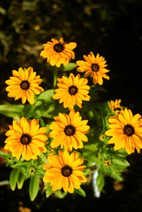 Blackeyed susan the jaunty daisy flowers of black eyed susans are familiar to everyone as the daisies with yellow petals and brown centers there are upwards of 30 kinds mightylinksfo