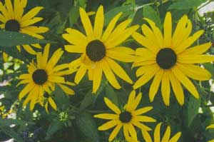 Blackeyed susan flowers black eyed susans daisy type flowers typically have deep yellow ray petals surrounding dark centers blooms measure 2 to 2 12 inches across mightylinksfo