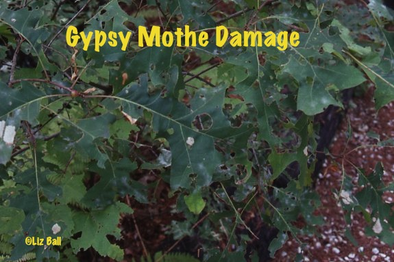 Diagnose Gypsy Moth